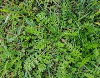 bindi-weed